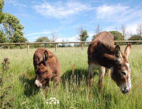 Farm Donkeys