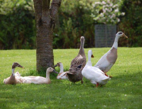 Farm Ducks
