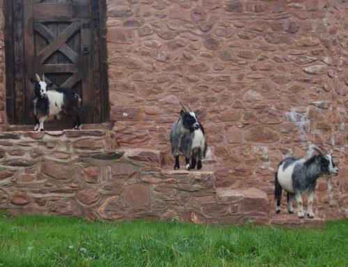 Goats on Steps