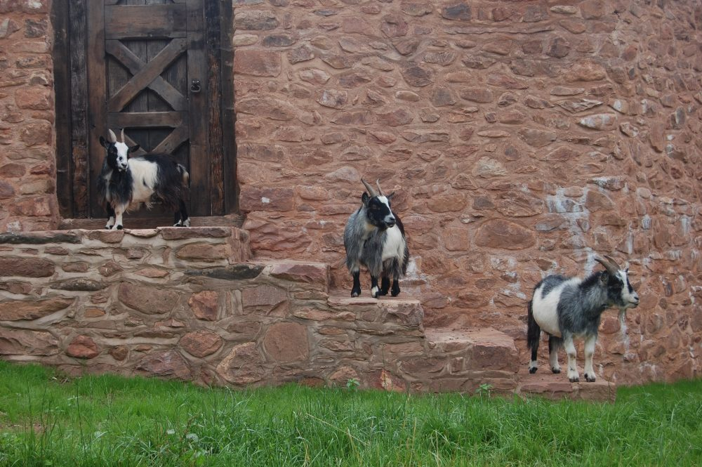 Goats on Steps